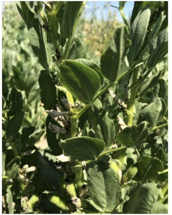 fababean plant from same phenotypic selection as 14-24SB at biomass harvest